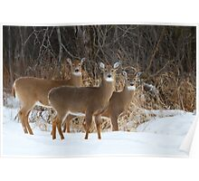 Do Ra Me - White-tailed deer Poster