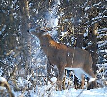 Snow Shower - White-tailed deer Buck by Jim Cumming