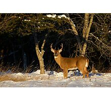 A Winters Sunset - White-tailed deer Buck Photographic Print