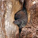 Baby Porcupine by Jim Cumming