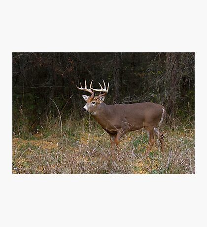 On the hunt - White-tailed deer Buck Photographic Print