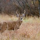 Which way did she go? - White-tailed deer Buck by Jim Cumming