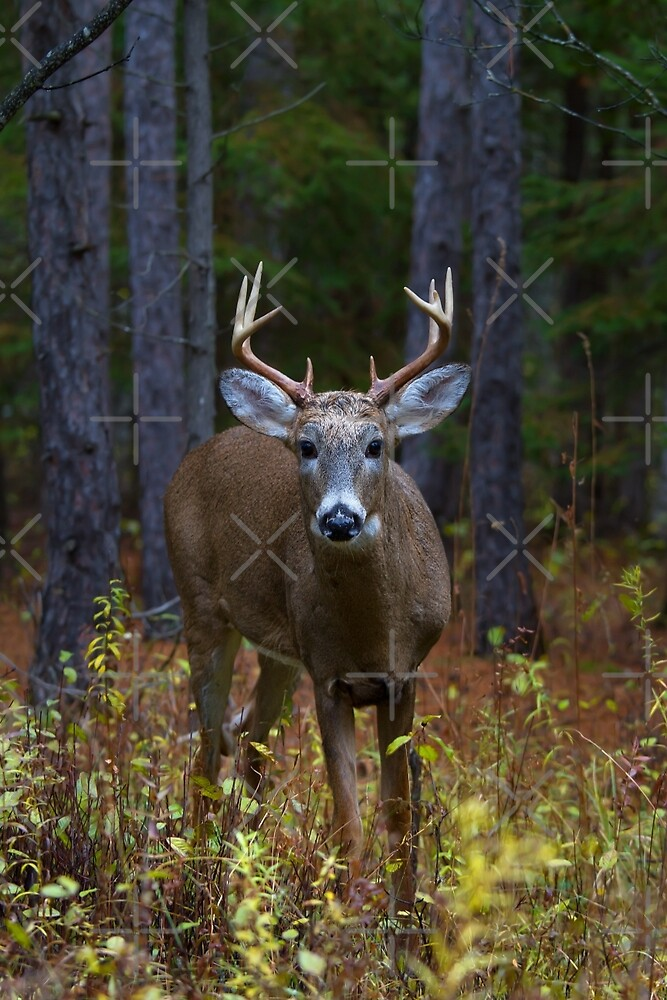 Curious Prince - White-tailed Buck by Jim Cumming