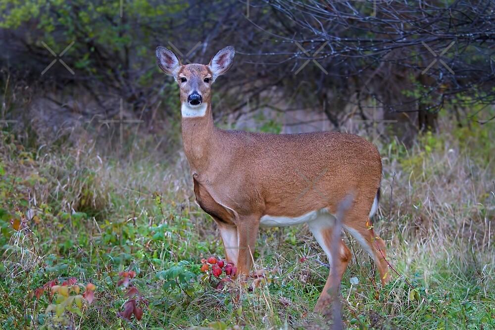 Doe Queen - White-tailed deer by Jim Cumming