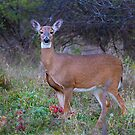 Doe Queen - White-tailed deer by Jim Cumming