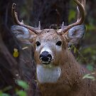 Battle Scars - White-tailed Buck by Jim Cumming