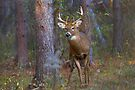 Who goes there? - White-tailed Buck by Jim Cumming