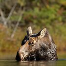 Lunchtime - Algonquin Park, Canada by Jim Cumming
