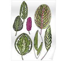 Calathea Plant Leaves Poster