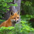 Curious Kit - Red Fox, Algonquin Park, Canada by Jim Cumming