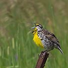 An Eastern Song - Eastern Meadowlark by Jim Cumming
