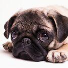 Sad Pug Puppy by Edward Fielding