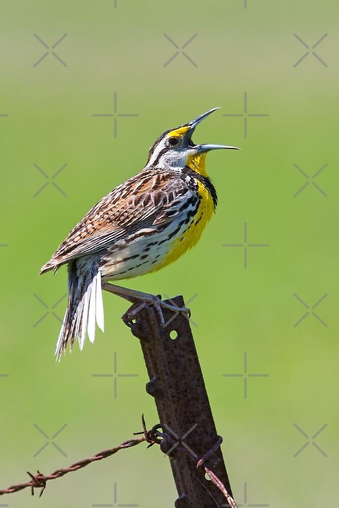 Eastern Meadowlark by Jim Cumming