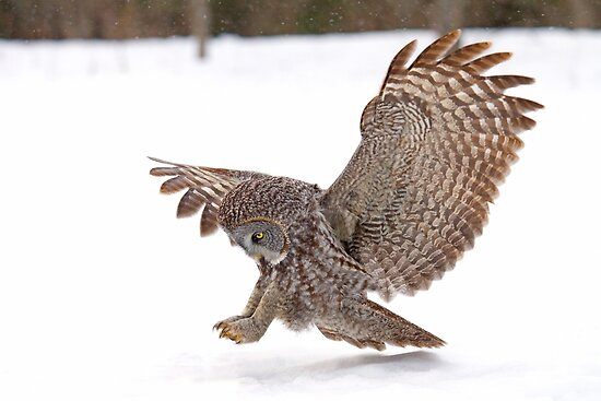 Once a pounce a time - Great Grey Owl by Jim Cumming