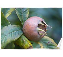 loquats on tree Poster