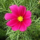 Deep Pink Cosmo with Yellow Centre by SunriseRose