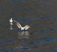 seagull fly on lake by spetenfia