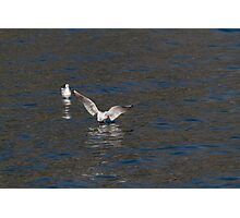 seagull fly on lake Photographic Print