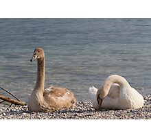 swan at lake Photographic Print