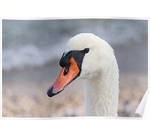 swan at lake Poster