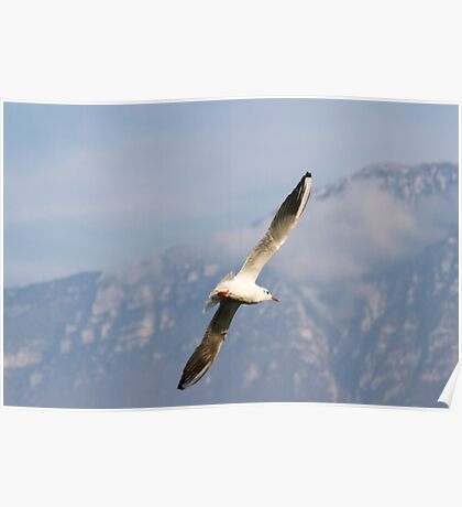 seagull fly on lake Poster