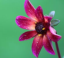 A red flower by Dipali S