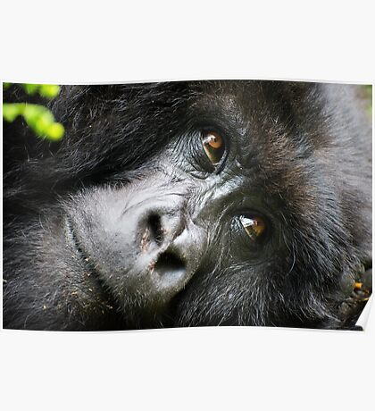 Gorilla Mother (Candid Close-up) Poster