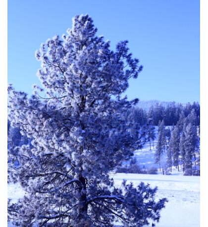 Pine Tree Covered in Snow Sticker