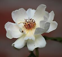 White Rose by Dipali S