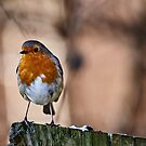 Robin by Lea Valley Photographic