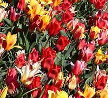 Tulips by Dipali S