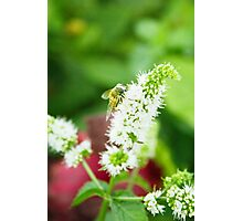 Bee on a Mint Flower (2) Photographic Print