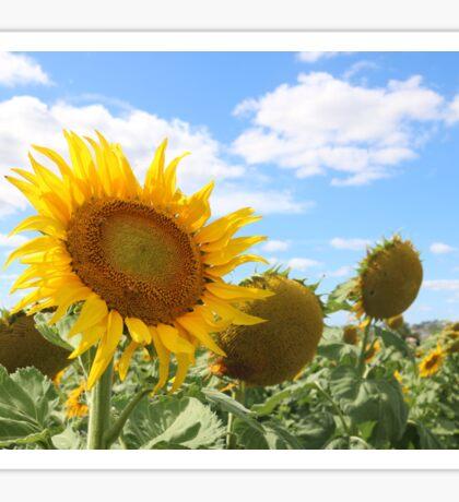 Sunflower fields Queensland  Sticker