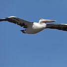 Australian Pelican - Matilda Bay, W.A. by Sandra Chung