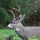 Blacktail buck doing what comes naturally   by RichImage