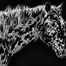 Appaloosa BW by George Lenz