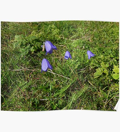 small wild bluebell cluster Poster