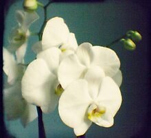 White orchids by gailgriggs