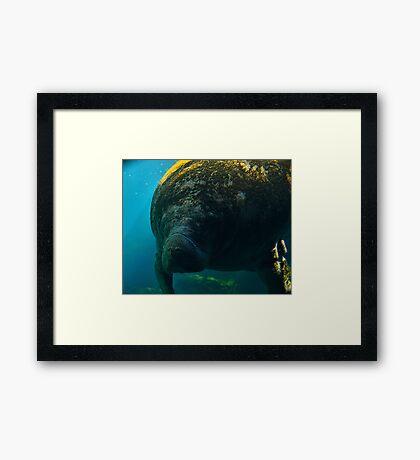 Manatee Closeup Framed Print