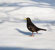 Black bird in the snow by Martyn Franklin
