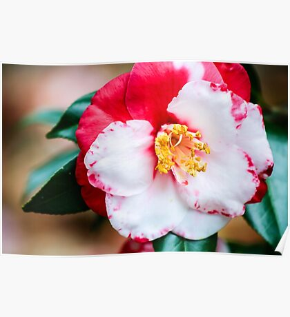 Red and White Camellia Flower Poster