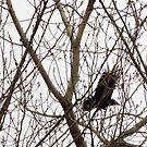 Raven by Laura Puglia