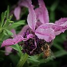 Bee on Lavender Leith Park Victoria 20161026 7659  by Fred Mitchell