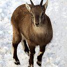 Baby Ibex. by vette