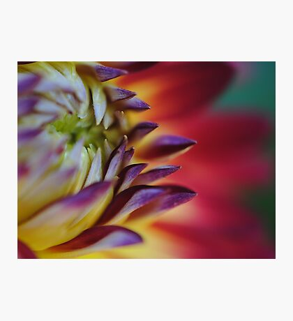 Petals Like a Rainbow Photographic Print