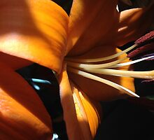 Beauty. Perfect Lily by 720CCCO303