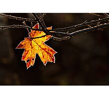 MAPLE FROST Photographic Print