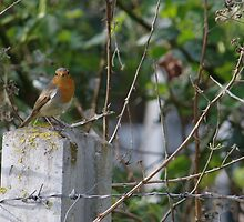 Robin and Barbed Wire by Adrian Wale