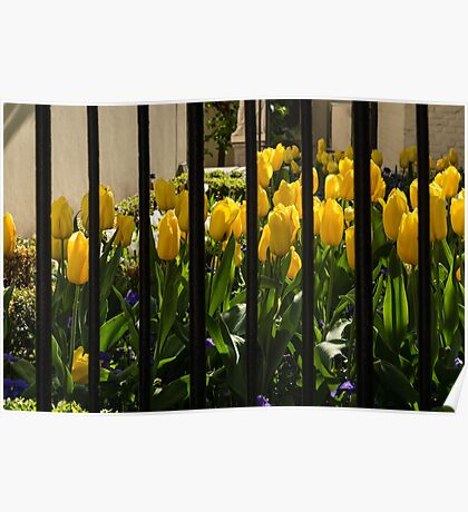 Tulips Behind Bars Poster
