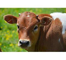 Amish Farm Jersey Calf Photographic Print